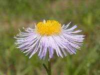 Image of Erigeron arisolius